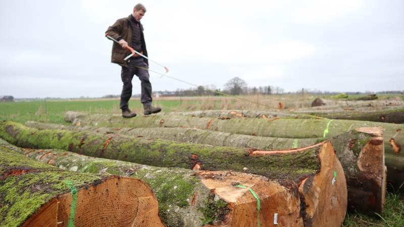Føret er ofte bedre i efteråret. Skovningerne kan typisk udføres uden risiko for at maskinerne laver spor af betydning. Foto: Jens Mathiasen, Skovdyrkerne