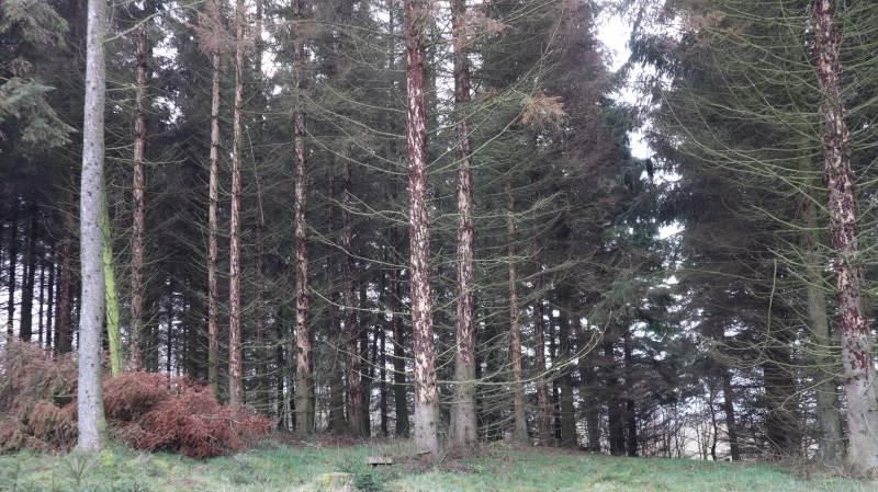 Billeangreb ses ofte som døde træer i randen af nålebevoksninger. Der ses små indflyvningshuller i træerne. Skovdyrkerne opfordrer til at holde godt øje med angreb. Foto: Jens Mathiasen, Skovdyrkerne
