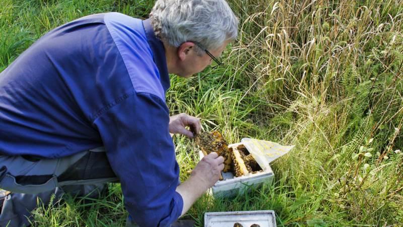 En af landets store biavlere, Peter Stougaard, avler 10.000 dronningebier om året i særlige små dronningebistader med salg for øje til andre honningproducenter. Han har 2100 dronningebistader på Alrø og i skove omkring Odder.