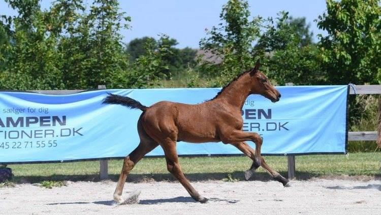 Der var pæn efterspørgsel efter flere af de heste, der for nylig var på auktion hos Campen Auktioner.