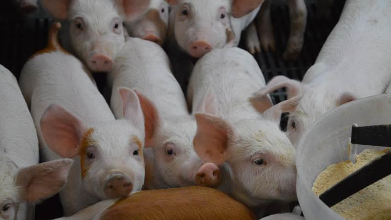 Ifølge Cargill så starter den vellykkede fravænning allerede i farestalden, hvor det er særligt vigtigt at sørge for, at grisene får et højt tørstofoptag inden grisene bliver fravænnet. Foto: Camilla Bønløkke