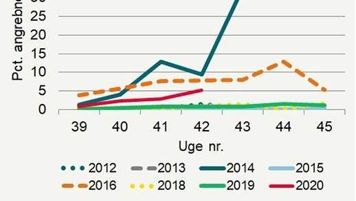 Udviklingen i mængden af bladlus sammenlignet med tidligere år. Det fremgår, at vi her i uge 42 ser det tredje højeste angreb indenfor de seneste otte år. Kilde: Seges