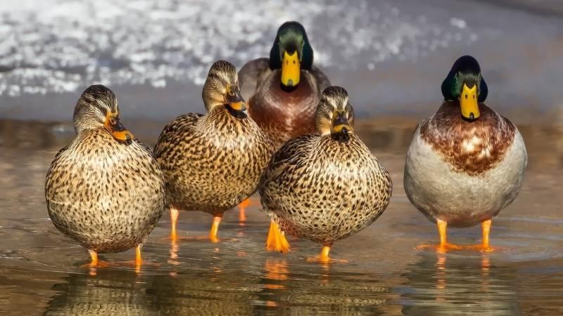 Fugleinfluenza (aviær influenza) kan medføre en dødelighed hos fjerkræ på op til 100 procent.