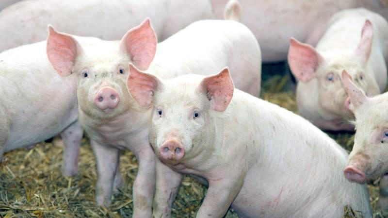 Den globale svineproduktion vil ifølge »World Markets and Trade Report«, der er det amerikanske landbrugsministeriums kvartalsvise prognose, stige med 4 procent i 2021.