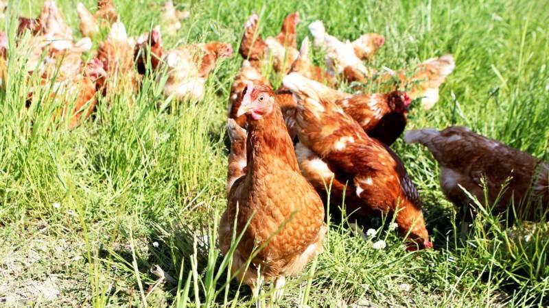Høns kan uden problemer tåle kulden – faktisk kan de tåle temperaturer ned til minus 30 grader, bare det ikke trækker. Det oplyser Velas i det seneste FlexNyt. Arkivfoto