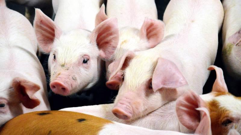 Danske Svineproducenter har lanceret en ny podcast, der er målrettet folkeoplysning om danske svineproducenter og den typiske danske gris' liv. Podcasten hedder »Klog på gris«. Arkivfoto: Camilla Bønløkke