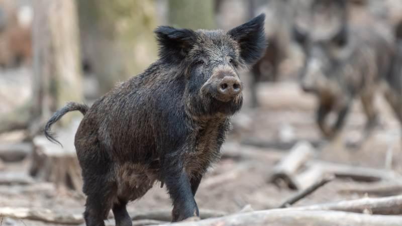 Mens Belgien nu officielt kan kalde sig fri for afrikansk svinepest, er man i Tyskland nu rundet tilfælde nummer 461.   Foto: Colourbox