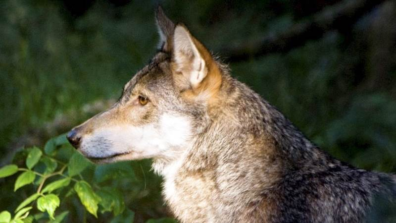 En ulv blev spottet lørdag tæt på mennesker i Borris Skydeterræn. Nu spekuleres der i, om den har vænnet sig til at være tæt på mennesker. Foto: Colourbox