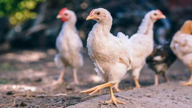 Både Pilgrim's Pride og Tyson Foods er fundet skyldig i retssagerne om price fixing af kyllingekødspriserne i USA.   Foto: Pixabay