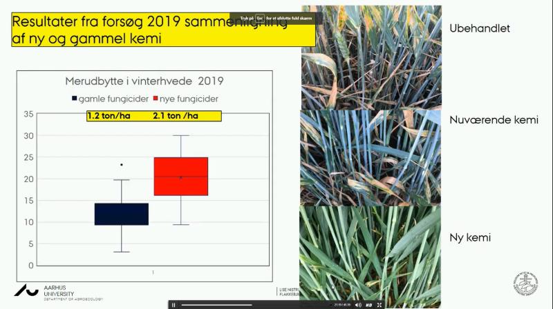 De nye fungicider - Balaya blandt andre - har på Flakkebjerg givet næsten et ton/ha mere end de gamle fungicider. Til højre en synlig forskel mellem nye og gamle (nuværende) svampemidler. Kilde: Lise Nistrup Jørgensen, AU