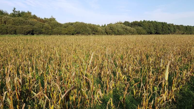 Majsen på billedet er 50-70 cm meter høj, men burde være over to meter. Alle majskolber er spist, så skaden er total. På denne mark blev 5 hektar totalskadet, det svarer til et tab på 50.000 kr. Foto: Sagro.