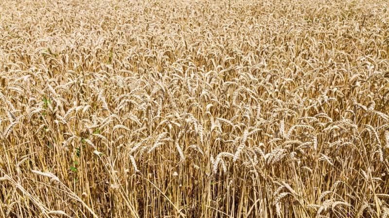 Ugegraf: MATIF Hvede i euro pr. ton  Prisen for møllehvede på MATIF kommer godt op igen, til trods for at hveden står godt i det meste af Europa – herunder blandt andet i Frankrig.
