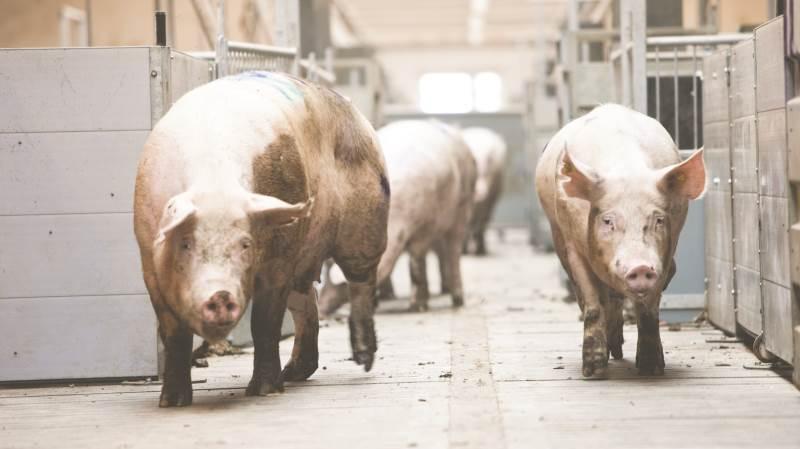 Noteringen for slagtesvin er uændret 9,50 kroner pr. kg i kommende uge.