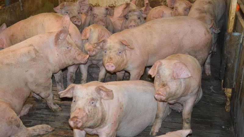 Danish Crown oplyser, at der fortsat arbejdes hårdt for at indhente mængden af udsatte grise, og planen er for nuværende at kunne fremrykke grise et par uger forud for påske. Arkivfoto: Camilla Bønløkke