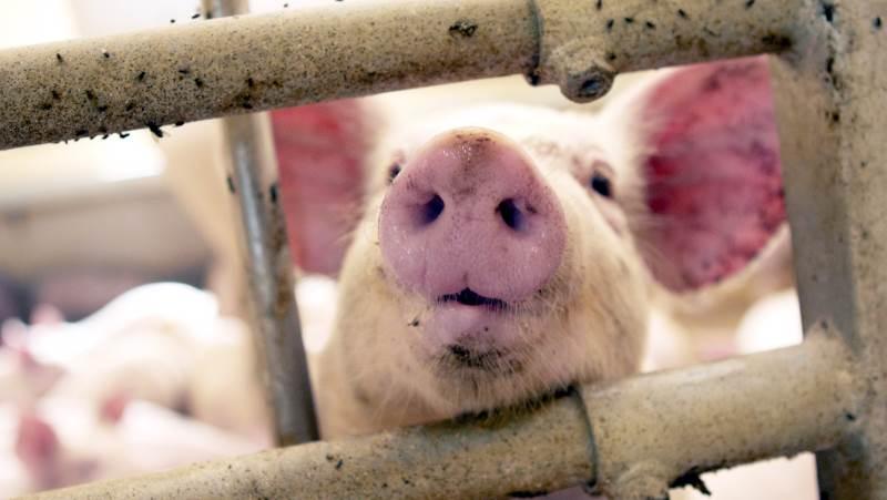Fremstillingspriserne er faldet i 2020, og prognosen for 2021 ser fornuftig ud, lyder skudsmålet af svineproducenternes situation netop nu. Arkivfoto