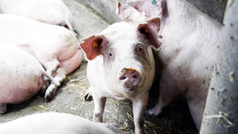 I Nutrimin Ugenyt giver Thomas Lund Eriksen, der er markedschef indenfor svin hos Nutrimin, en række anbefalinger omkring de mange variabler og faldgruber, som kan have stor indflydelse på fremtidens avlsdyr. Arkivfoto: Camilla Bønløkke