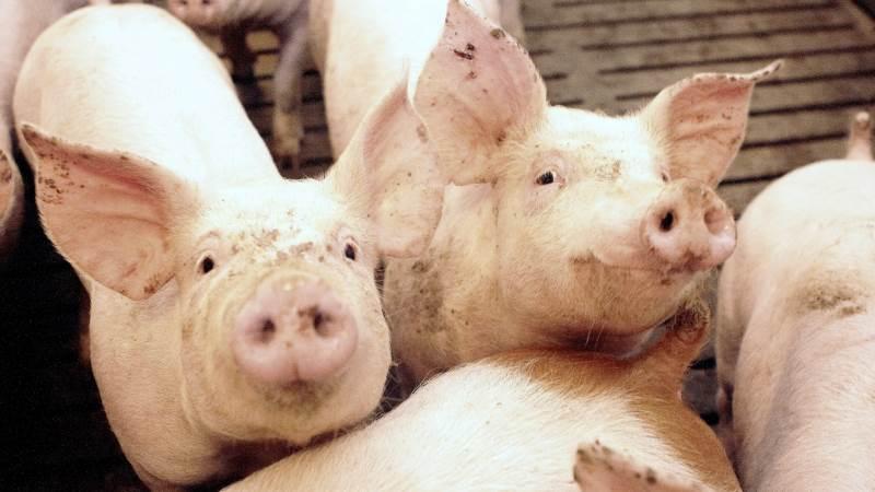 Der kan også i fremtiden blive stort brug for dansk svinekød i Kina, efter at en hård vinter ser ud til at have ført til nye fald i den kinesiske svinebestand.