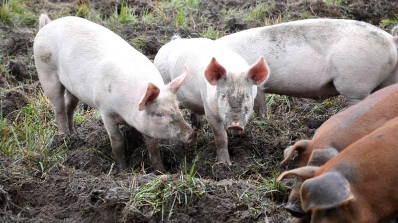 Økologiske smågrise får en mængde antibiotika, der svarer til 6,2 procent af forbruget til konventionelle smågrise, viser et nyt studie ifølge Icrofs - Internationalt Center for Forskning i Økologisk Jordbrug og Fødevaresystemer. Arkivfoto