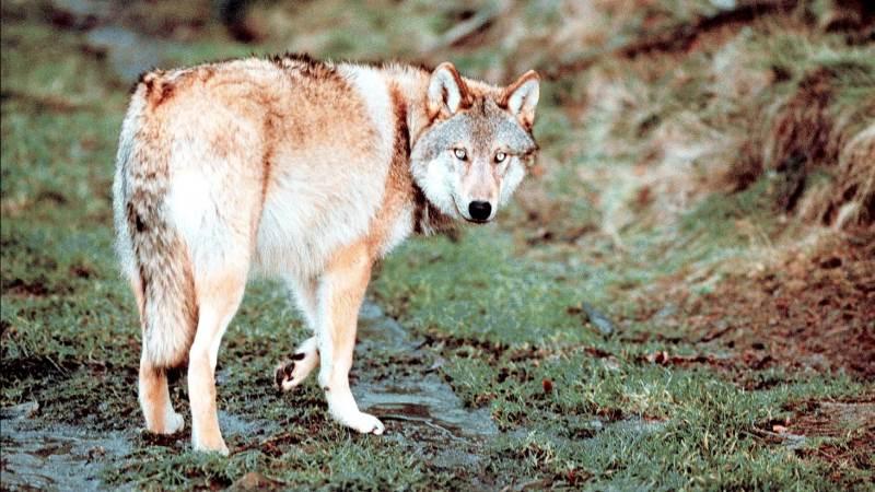 Der er uenighed om, hvorvidt der bør være ulve i det jyske landskab. Foto: Colourbox