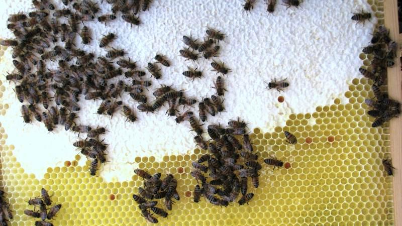 Bier og biavl er blevet stadigt mere populær i Danmark i de senere år. Og stadigt flere biavlere er kvinder. Arkivfoto