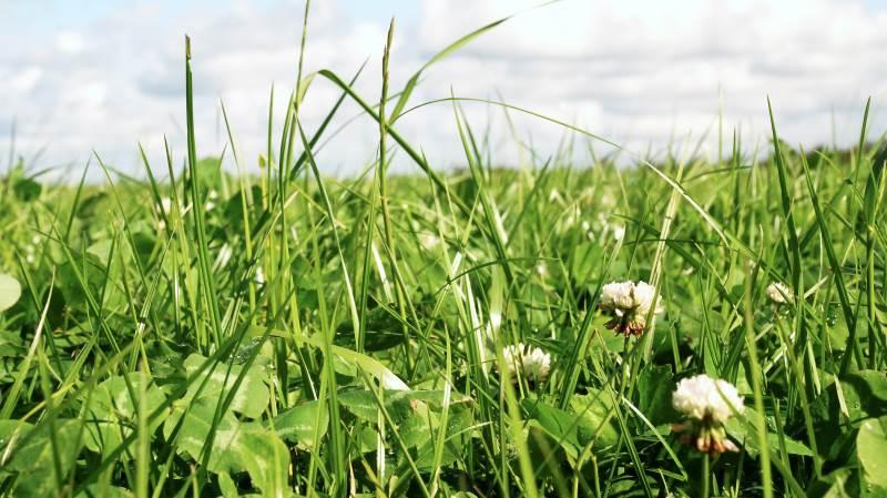 Kløvergræsmarken er en vigtig kilde til protein-selvforsyning hos økologer. Arkivfoto