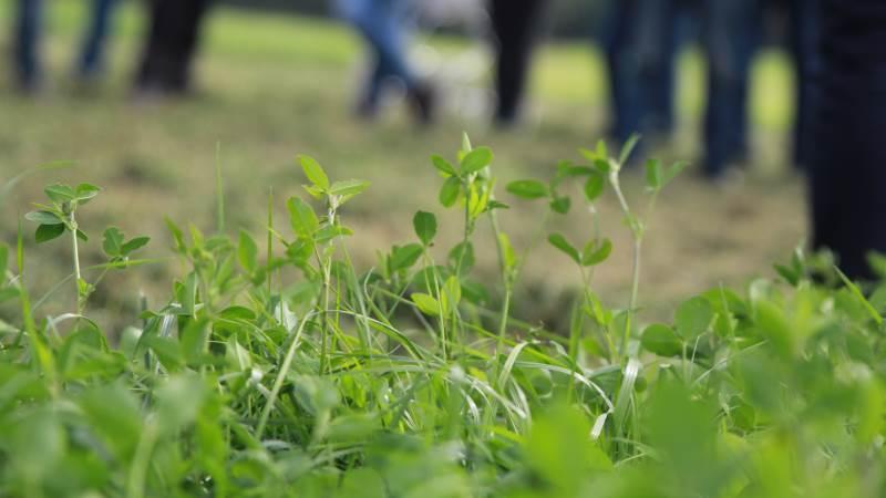 Lige nu undersøges forskellige græsarter for at få mere viden om forskellen mellem græsarterne samt betydningen af slættidspunkt i forhold til næringsstofindhold og foderværdi. Arkivfoto: Henriette Lemvig