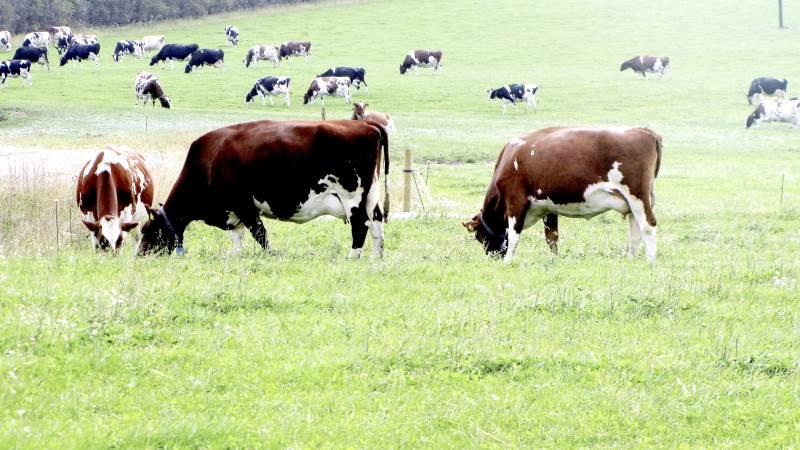 Tænk smittebeskyttelse og snak med din nabo, sådan lyder opfordringen fra dyrlæge Malene Budde fra Seges på Landbrugsinfo, for at undgå, at få salmonella med hjem i afgræsningssæsonen. Arkivfoto
