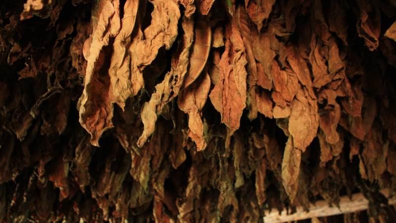 Med en rekordstigning i tobak-eksporten, takket være gunstigt vejr, er det lykkedes ZImbabwe at eksportere 200 millioner kg tobak. Foto: Pixabay