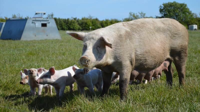 I samarbejde med Seges Økologi Innovation afholder SvineRådgivningen igen i år Temadag for udendørs svineproduktion. Det sker tirsdag den 1. juni. Arkivfoto: Camilla Bønløkke