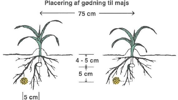 Vær opmærksom på, at startgødning til majs skal placeres i en streng fem centimeter under og fem centimeter ved siden af majskernen. Kilde: Velas