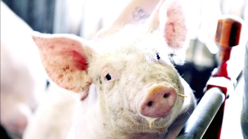 VEZG-smågrisenoteringen er uændret 53,00 euro, oplyser Danske Svineproducenter, der tilføjer, at noteringen for 8-kilos grise ligeledes er uændret 34,80 euro.