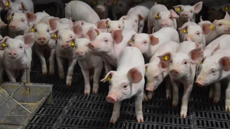 100 svinebesætninger med smågriseproduktion og cirka 80 tilknyttede besætningsdyrlæger får besøg af Fødevarestyrelsen i perioden april-november i forbindelse med en vejlednings- og kontrolkampagne der sætter fokus på flokbehandling af smågrise. Arkivfoto: Camilla Bønløkke
