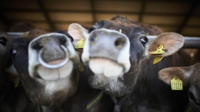 Normalt besøger mange tusinde gæster de udvalgte øko-gårde rundt i landet på dagen, hvor køerne lukkes ud på græs. Men i år er det igen lukket land for gæster. Foto: Arla.