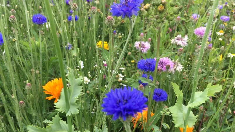 Velas tilbyder såning af blomsterstriber. Der sås fra sidst i april og en god måned frem. Såbedet skal være forberedt som til enhver anden afgrøde. Harvet og gerne givet en gang Roundup for at fange den første spirende ukrudt. Arkivfotos