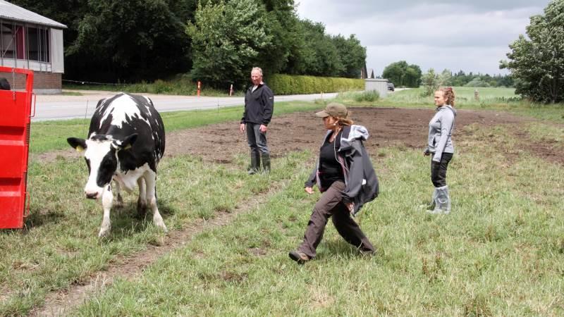 Arbejdstilsynet sætter gang i en kampagne, der sætter fokus på, hvordan landmanden kan oplære sin elever til at håndtere kvæg på sikker vis. Arkivfoto fra Seges-kursus i håndtering af kvæg