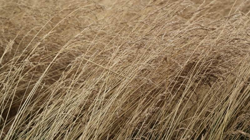 Rødsvingel skal altid vækstreguleres, da det er afgørende for udbyttet, at afgrøden er stående i blomstringsfasen. Specielt i marker med stort udbyttepotentiale og en god kvælstofforsyning er korrekt vækstregulering afgørende for udbyttet. Arkivfoto: Henriette Lemvig