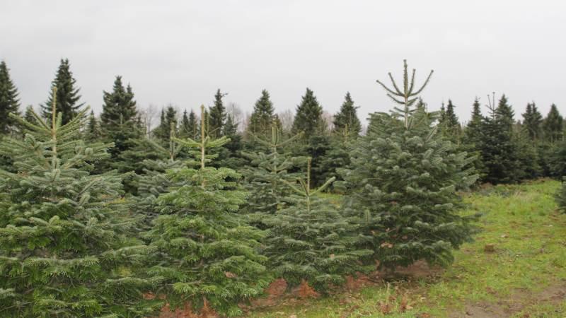 Hvis forpagter går konkurs, og han har produceret nyttetræ på arealet - eksempelvis juletræer - risikerer bortforpagter at skulle betale udgifterne til at reetablere arealet, påpeger advokat.
