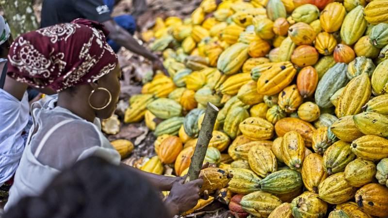 Efter at prisen på kakao i Elfenbenskysten er faldet med 25 procent, har Fairtrade nu henvendt sig direkte til EU om at få bedre regulering af kakaoindustrien. Foto: Fairtrade