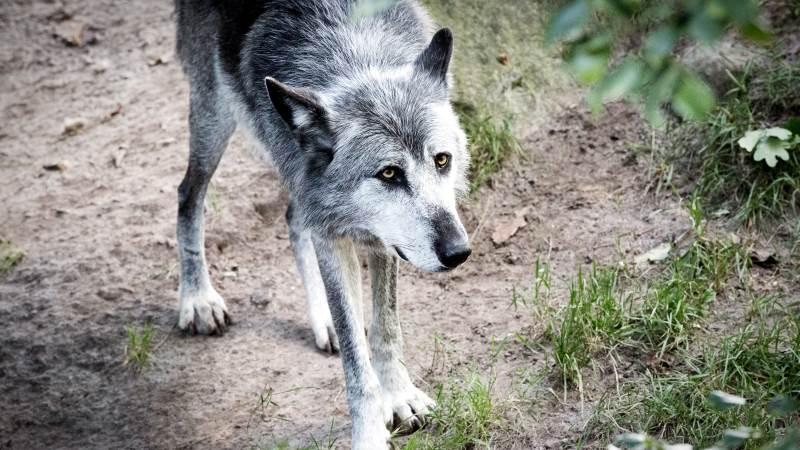 Der bør handles mere på ulvens tilstedeværelse, lyder det fra en række landboforeninger. Foto: Colourbox.
