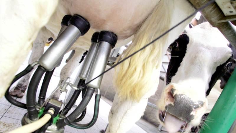 Mælkeproducenterne Lene og Bjarne Graversen, Linde ved Struer har al mulig grund til at være godt tilfredse med tre af deres køer. Billedet her stammer dog ikke fra den pågældende besætning. Foto: Colourbox.