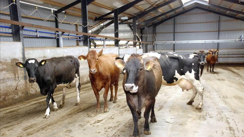 Den flotte udvikling i celletallene er baseret på godt håndværk i besætningen, ikke en større andel af mælk der separeres, vurderer chefkonsulent Michael Farre, Seges på Landbrugsinfo. Arkivfoto: Anders Kurt Simonsen.