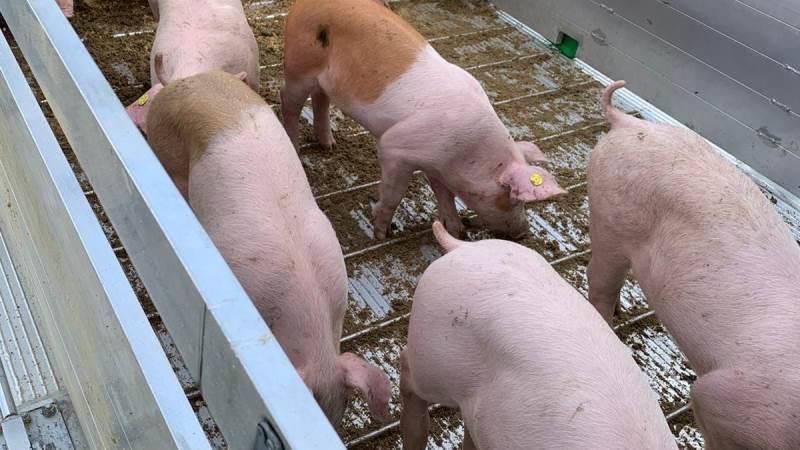 Leveringserklæringer fritager nu for krav om GPS på den vogn, der flyttes grise med. Arkivfoto