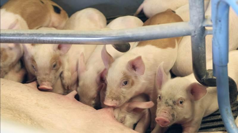 Leverandører af slagtesvin til Danish Crown kan forvente at få 10,80 kroner pr. kg for slagtesvin i vægtklassen 72 til 96,9 kg. Foto: Christian Carus
