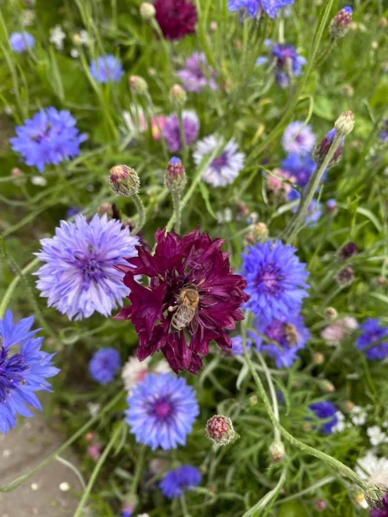 Der bliver med de mange blomsterstriber bedre levevilkår for blandt andet bierne. Foto: Karina Laugaard Kristensen