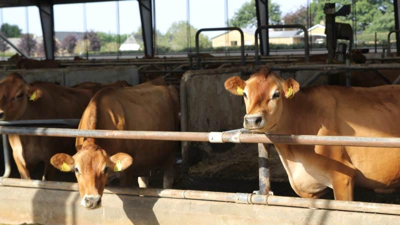 De bedste danske andelshavere kan producere et kg mælk med 0,93 kg CO2e (til sammenligning er verdensgennemsnittet 2,5 og Vesteuropa 1,37 ifølge FNs Food and Agricultural Organisation) Arkivfoto: Henriette Lemvig.