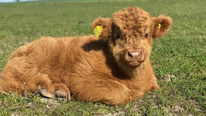 Igen i år kåres Dyrskuets sødeste kalv. Her sidste års vinder, Ralf fra Syberg Kvæg i Kerteminde.