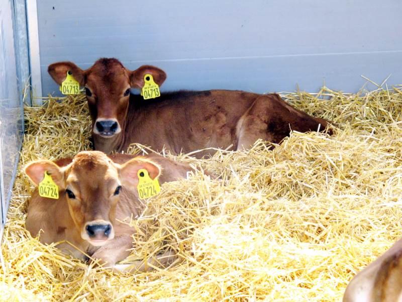 Til årsskiftet er det ikke længere tilladt at aflive de kalve, der er tilovers i mælkeproduktionen. Med et nyt koncept kan jersey-kalvene alligevel gøres til en god forretning. Arkivfoto: Camilla Bønløkke