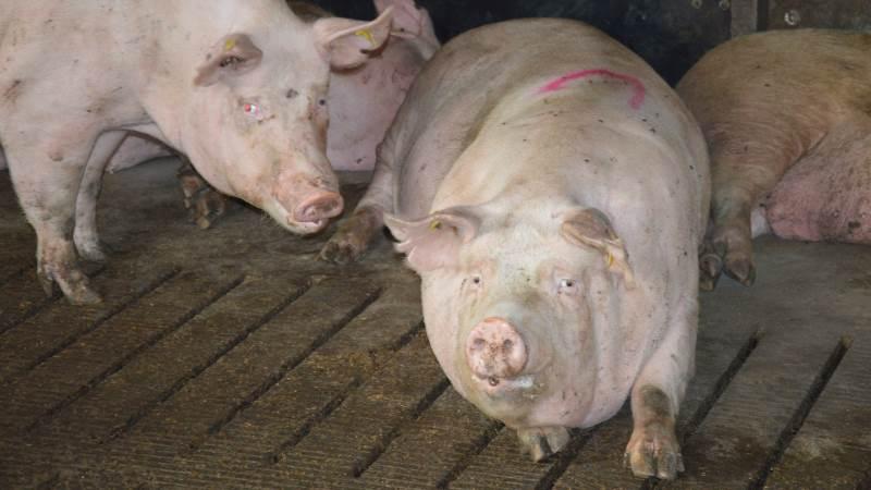 Risikoen for, at en gris bliver smittet med influenza, og en gris derefter smitter et menneske, er meget lille. Alligevel lyder opfordringen fra Seges, at det er vigtigt at gøre alt, hvad man kan, for at undgå, at situationen opstår. Arkivfotos: Camilla Bønløkke