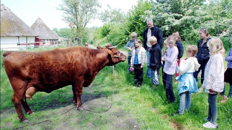 Her ses en gammel rød dansk malkeko i Den Fynske Landsby. Arkivfoto