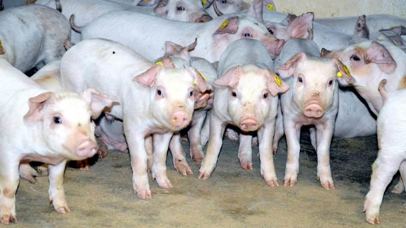 Ifølge Seges Svineproduktion har Fødevarestyrelsen ved kontrolbesøgene frem til november blandt andet stor fokus på, om producenterne følger dyrlægens anvisninger og om der er korrekt registrering af lægemidler til flokbehandling. Arkivfoto: Camilla Bønløkke